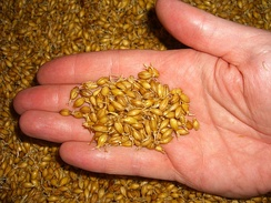 A sample of green malt on about day three - the malt culms are clearly visible