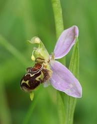 Ophrys apifera is about to self-pollinate