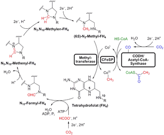 The LUCA used the Wood–Ljungdahl or reductive acetyl–CoA pathway to fix carbon.