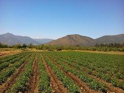 Плантация томатов в Чили