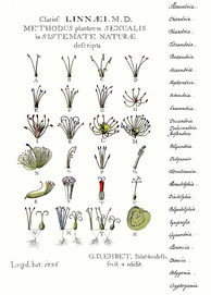 From 1736, an illustration of Linnaean classification