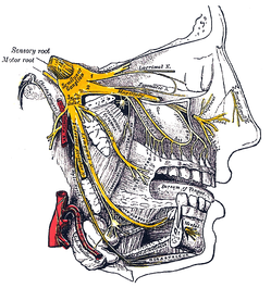 Nasal innervation: Cranial nerve V, the trigeminal nerve (nervus trigeminis) gives sensation to the nose, the face, and the upper jaw (maxilla).