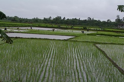 A paddy field in Vietnam.