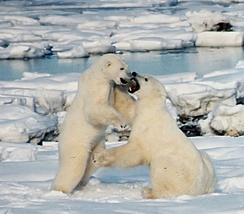 Subadult polar bear males frequently play-fight. During the mating season, actual fighting is intense and often leaves scars or broken teeth.