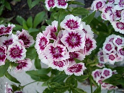 Sweet William Dwarf from the family Caryophyllaceae