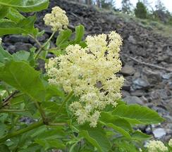 Соцветие Sambucus racemosa subsp.pubens var.melanocarpa. США, штат Вашингтон, округ Шелан