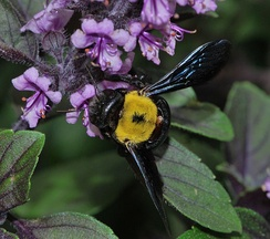 A female carpenter bee foraging on basil