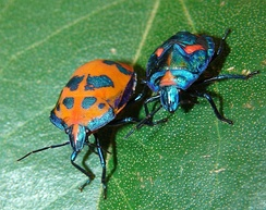 Female and nymph Cotton Harlequin Bug