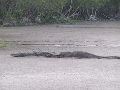 American alligator (right) and the American crocodile (left) at Mrazek Pond, Florida.