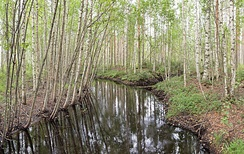 Birch trees by a river in Hankasalmi, Finland