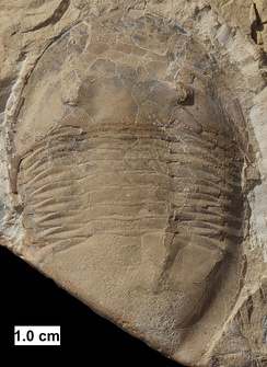 The trilobite Isotelus from Wisconsin.