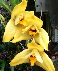 × Lycamerlycaste Hera gx is a grex of orchid hybrids in the nothogenus × Lycamerlycaste J.M.H.Shaw. It consists of hybrids between members of a grex (× Lycamerlycaste Brugensis gx) and a species (Lycaste cruenta Lindl.).