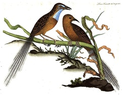 Muscicapa malachura (the Southern emu-wren), a new species from New South Wales, 1798, Transactions of the Linnean Society of London, Volume 4, facing page 242