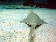 Sawfish have an electro-sensitive rostrum (saw) which is also used to slash at prey