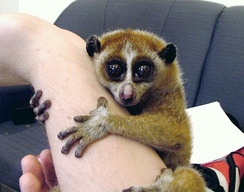 Slow lorises are popular in the exotic pet trade, which threatens wild populations.
