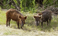 Feral pigs (razorbacks) in Florida