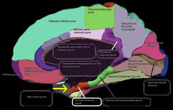Медиальная поверхность коры больших полушарий мозга человека