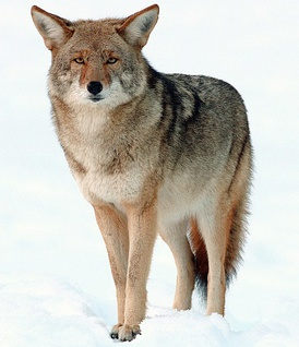 Mountain coyote (Canis latrans lestes) in Yosemite National Park