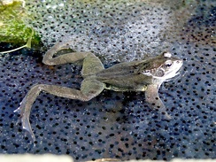 Самка лягушки, сидящая в выметанной икре.