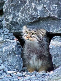 Манул среди камней (Цюрихский зоопарк)