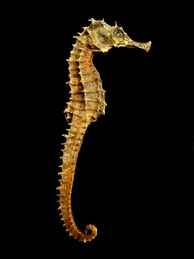 Dried seahorses like these are extensively used in traditional medicine in China and elsewhere.