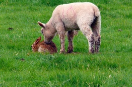A lamb investigates a rabbit, an example of interspecific communication using body posture and olfaction.