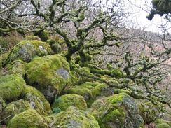 Ancient pedunculate oaks at Wistman's Wood in Devon, England