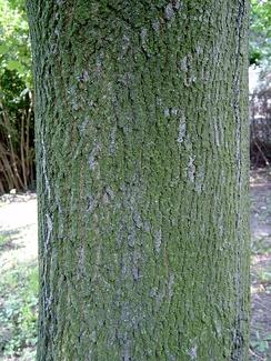Кора взрослого дерева