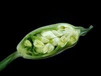 Allium ursinum 09 ies.jpg