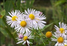 St. Charles County is the only known habitat of the threatened decurrent false aster in Missouri.[6]