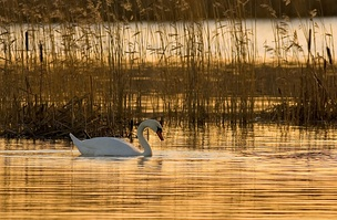 Mute swan (Cygnus olor) in a hydrosere community at sunrise.