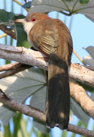 The great lizard cuckoo is a large insular cuckoo of the Caribbean