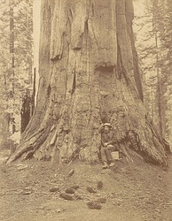 "Albumen silver print photograph of Muybridge in 1867 at base of the Ulysses S. Grant tree ""71 Feet in Circumference"" in the Mariposa Grove, Yosemite, by Carleton Watkins"
