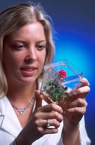 A rose plant that began as cells grown in a tissue culture