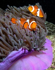 An anemone fish couple guarding their anemone. If the female dies, a juvenile male moves in, and the resident male changes sex.
