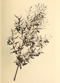 Branch of a Mission olive tree