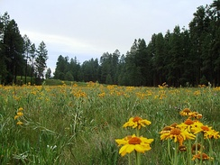 Wildflower meadow in the Apache-Sitgreaves National Forest, near Alpine.