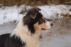 Tricolour Border Collie. Young male.