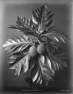 A black-and-white photo of a breadfruit, c. 1870