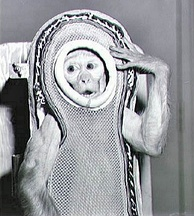 Sam, a rhesus macaque, was flown into space by NASA in 1959