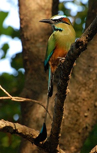 The torogoz is El Salvador's national bird.