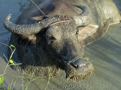 Carabao buffalo in the Philippines