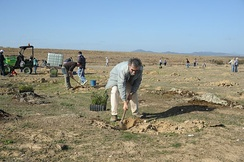 Planting holm oaks in Pescueza