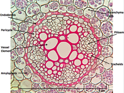Ranunculus Root Cross Section