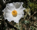 Flat-bud prickly poppy (Arctomecon munita)