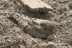 Egyptian nightjar nests in open sand with only its camouflaged plumage to protect it.
