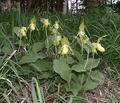 Cyp. calceolus var. flavum