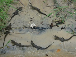 A grouping of yearling baby Nile crocodiles.