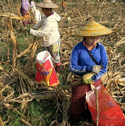 Hand-picking harvest of maize in Myanmar.