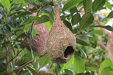 Intricate nests of weaver birds
